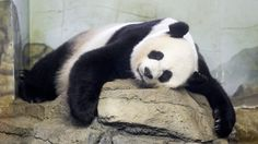 Panda-monium! Mei Xiang gives birth to twins at the National Zoo