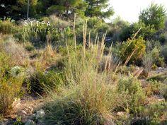 El Blog de La Tabla: Alternativas a la hierba de la Pampa: Stipa tenaci...