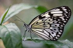 Resting Rice Paper Butterfly...