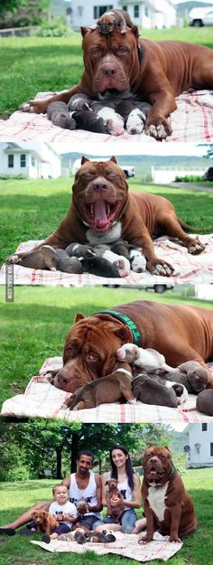Aww Congrats Hulk :) 😊Hulk The Worlds Biggest Pitbull Is Now A Proud Father cute animals dogs adorable dog puppy animal pets animal families Cute Dogs And Puppies, Big Dogs, I Love Dogs, Doggies, Corgi Puppies, Cute Funny Animals, Funny Dogs, Funny Memes, Funny Videos