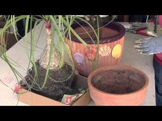 How to Plant a Ponytail Palm : Great Gardening - YouTube