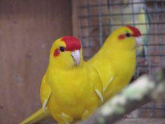 lutino kakariki Exotic Birds, Parrots, Birds, Animaux, Parrot, Parakeets