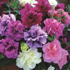 Image result for frills and spills petunia