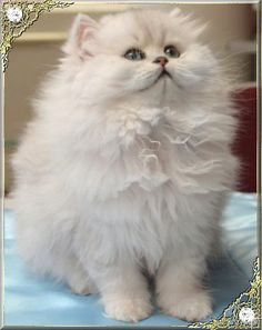 The Chinchilla cat is a longhaired breed of cats which is actually a type of Persian. They have a thick, long and silky coat with a cobby body and rou