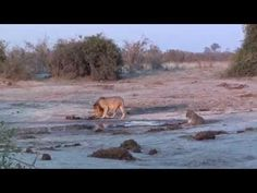 Botswana - khama/ckgr/moremi/savuti/chobe/senyanti/elephant sands/tuli b. Wildlife, Elephant, Africa, Tours, Park, Spaces, Youtube, Elephants, Parks