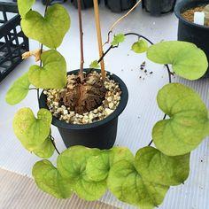 #亀甲竜 #多肉植物 #succulent #Dioscorea #塊根 #コーデックス #Caudex | #plantwishlist, #bonsai, plant training