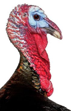 Bow hunting wild turkey can be a difficult thing. But with proper training and patience it can become a rewarding outdoor lifestyle hobbies hunting experience Turkey Drawing, Turkey Painting, Turkey Bird, Wild Turkey, Quail Hunting, Bow Hunting, Pato Real, Lakeland Terrier, What Dogs