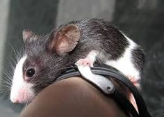 Image result for pictures of pet mice