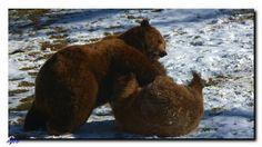 Ein Bärenmännchen kämpft mit einem Bärenweibchen. Brown Bear, Animals, Animales, Animaux, Animal, Animais