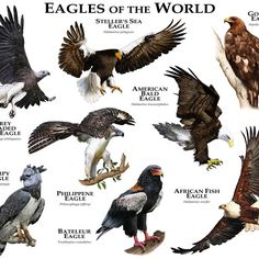 Eagles Of The World Duvet Cover by Wildlife Art By Roger Hall - Queen: x The Eagles, Types Of Eagles, Harpy Eagle, Bald Eagle, Animal Species, Bird Species, Beautiful Birds, Animals Beautiful, Unique Animals