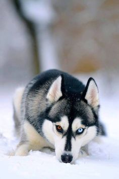 I will own this dog one day