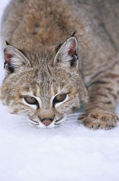 Wild cat - Kim Sullivan/SplashdownDirect/Rex Features