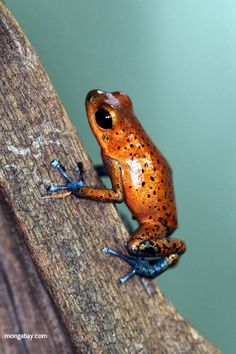 Cristobal Strawberry Dart Frog (Oophaga pumilio)