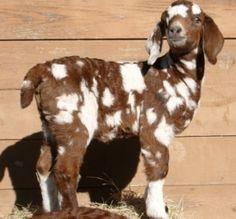 Nubian goat - beautiful!