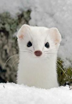 .Ermine...soooo beautiful...and people kill them and hunt them...
