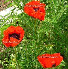 Oriental Poppy Seeds - Nana Allegro Papaver Orientale