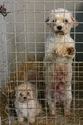 In Prison all of her life to produce puppies for profit . Monsters don't care about the suffering , they just want money.