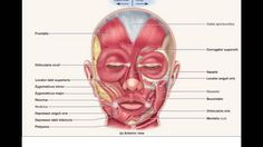 10 / 11 Muscle / Tissue - Anatomy & Physiology 1 with Sayers at Rutgers University - Camden - StudyBlue Facial Anatomy, Human Anatomy, Anatomy Bones, Anatomy Images, Muscular System, Medical Anatomy, Oral Surgery, Muscle Anatomy, Facial Muscles