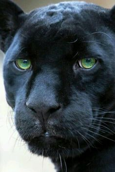"* * "" I beez a panther. Read up on animals or just 'Big Cats. Beautiful Cats, Animals Beautiful, Black Is Beautiful, Absolutely Gorgeous, Big Cats, Cats And Kittens, The Animals, Wild Animals, Baby Animals"