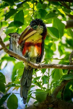 Curl-crested Aracari by: craigchaddock | Flickr - Photo Sharing!