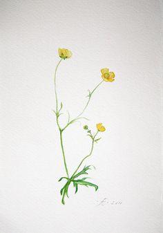 Meadow Buttercup field flower Fine Art by VerbruggeWatercolor, $14.00