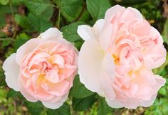 Ellen roses, photographed in autumn.