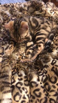 Our Bengal kitten loves leopard print, naturally - katzen - Cats Cute Funny Animals, Funny Animal Pictures, Cute Baby Animals, Animals And Pets, Cute Cats, Funny Cats, Beautiful Cats, Animals Beautiful, Kittens Cutest