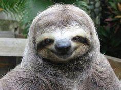 Bicho-preguiça inegavelmente sorrindo. (Foto: honeymoonincostarica.com)