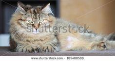 brown tortie tabby mackerel cat of siberian breed, new on @Shutterstock