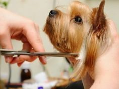 how to trim a Yorkshire terrier's face