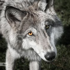 Young Grey Wolf (Timber Wolf) looks up at viewer with adoring eyes.