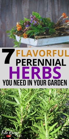 Growing perennial herbs in your garden is fun and beneficial! Youll have fresh herbs all year long for cooking tea or herbal preparations. Here are 7 perennial herbs you should plant in your garden and enjoy every year! Grow Organic, Organic Herbs, Organic Gardening, Vegetable Gardening, Vegetable Garden For Beginners, Gardening For Beginners, Gardening Tips, Indoor Gardening Supplies, Container Gardening