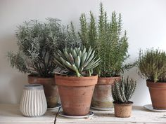 beautiful clay pots with lots of green succulents trying to hold on to the mallorcan summer