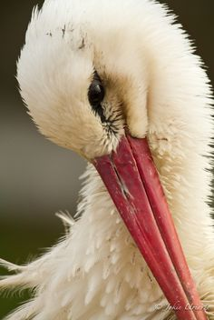 white stork (photo by jekin uriarte)