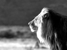 el leon es mi favorita animale, es muy fuerte y feroz . perro puedo ser bonita y clase. es rey de animales