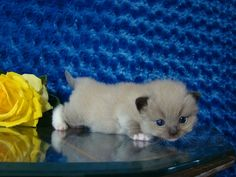 Buck Seal Mitted Mink Male Ragdoll - Ragdoll Kitten for Sale