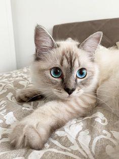 Ragdoll Kittens, Puppies And Kitties, Cute Baby Cats, Cute Cats And Kittens, Cute Little Animals, Cute Funny Animals, Kittens Cutest, Bengal Cats, Funny Kittens