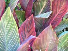 The colorful leaves of the 'Tropicana' Canna