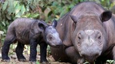 Highly endangered Sumatran rhino mom pregnant with 2nd calf | CBC | September 23, 2015