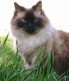 Bailey - Sealpoint Ragdoll Cat- Pretty is as Pretty does and this boy is beautiful