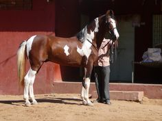 a rare Indian Marwari horse with curly ears!
