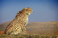 Pretty Cats, Beautiful Cats, Pretty Kitty, Asiatic Cheetah, Visit Iran, River Otter, Persian Culture, Rumble In The Jungle, Cheetahs