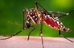 Dengue virus is carried by the Aedes aegypti mosquito, the same type that can spread Zika virus. A bite from a mosquito harboring the virus can result in headaches, rashes and severe joint pains. In serious cases, it can cause internal bleeding and death. Virus Zika, Dengue Virus, Dengue Zika, Dengue Fever, Mosquito Control, Pest Control, Mosquito Protection, Insect Pest, Yellow Fever