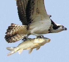 águia e peixe