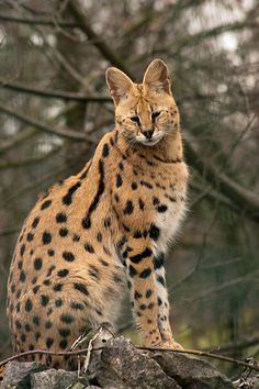 Google Image Result for http://www.animalpictures123.org/wp-content/uploads/2012/05/Marvelous-Serval-Cat-Is-Sitting-On-Rocks.jpg