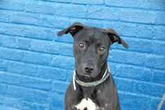SAFE --- URGENT - Brooklyn Center   WINSTON - A0988220    MALE, BLACK / WHITE, LABRADOR RETR MIX, 1 yr, 6 mos  STRAY - STRAY WAIT, NO HOLD Reason STRAY  Intake condition NONE Intake Date 12/26/2013, From NY 11432, DueOut Date 12/29/2013 ORIGINAL THREAD : https://www.facebook.com/photo.php?fbid=731742750171940&set=a.617941078218775.1073741869.152876678058553&type=3&theater