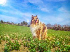 Country flower by hermio.deviantart.com on   @DeviantArt  #lassie #candy #collie #dogs #hermio #miao #black