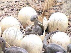 Çok fazla çeşidi olan dinozorların tümü yumurtlayarak üremişlerdir. Dinozorların yumurtaları oldukça kalın kabukludur.