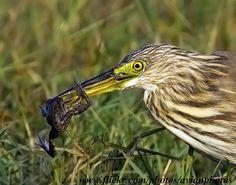 Chinese Pond Heron ( Ardeola bacchus )  gary1844