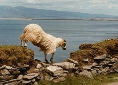 Irish sheep - Dingle Peninsula    By jackie dawson